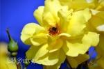 bumblebee rose sig