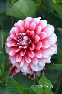 pink white dahlia sig