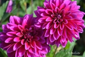 purple dahlia sig