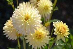 yellow dahlia sig
